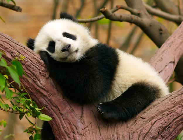 baby panda, chengdu