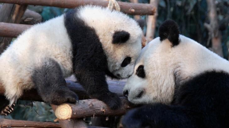 giant-panda-chengdu