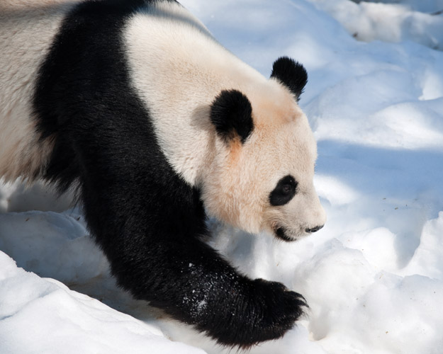 giant pandas in snow