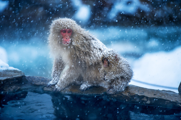 japanese snow macaques