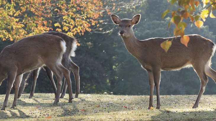 the deer of nara park