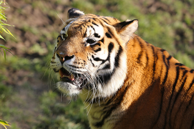 China's Amur Tiger