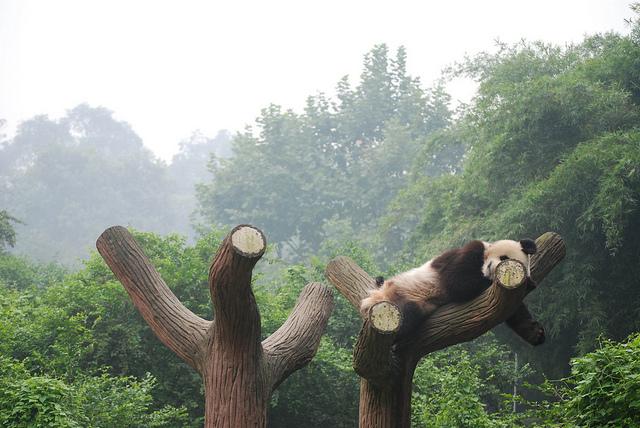 China's Giant Panda