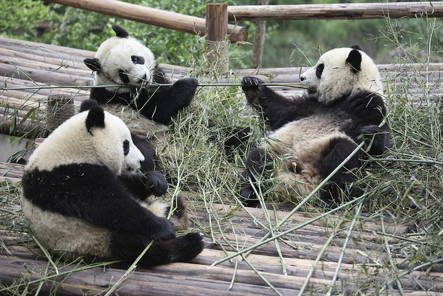 China's Giant Pandas