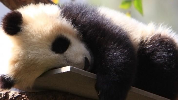 baby pandas in china