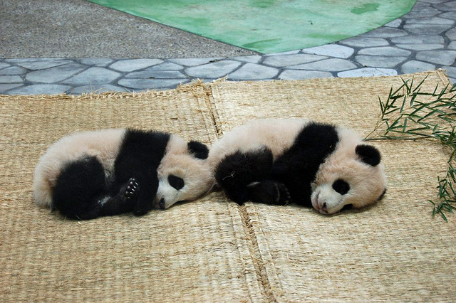 history of the baby pandas