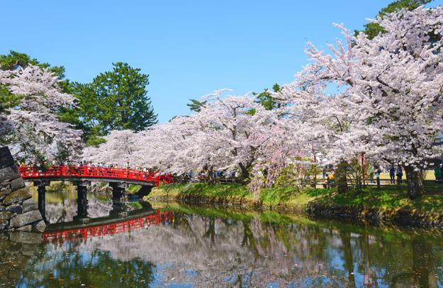 cherry blossoms bridge