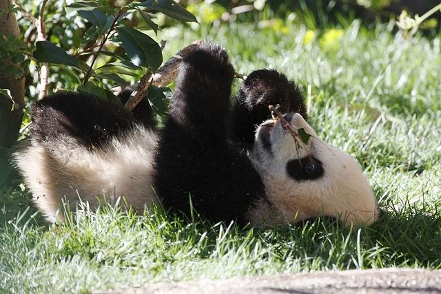baby panda development