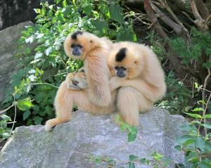 spot gibbons in cambodia