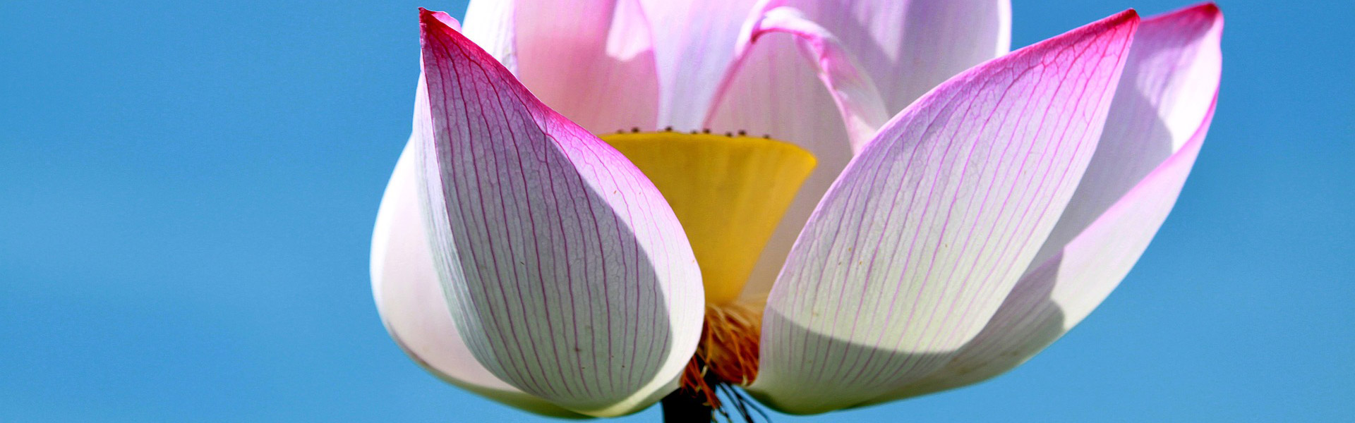 Vietnam's National Flower: The Lotus | Wendy Wu Tours Blog
