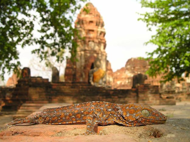 lizard by temple