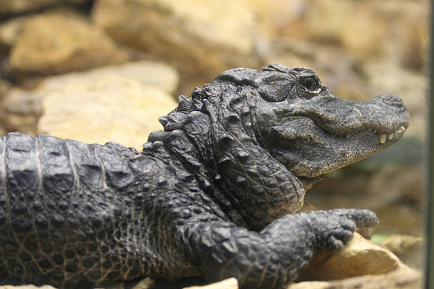 Chinese alligators live in the Yangtze