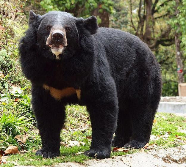 An Asiatic Black Bear