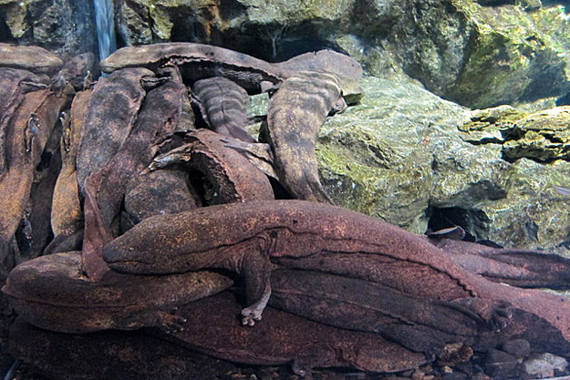 Giant salamanders in the Yangtze