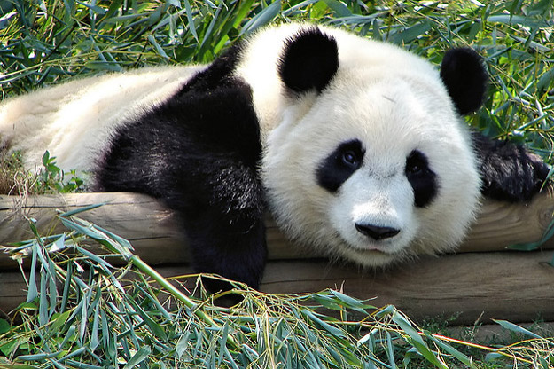 See a giant panda in China