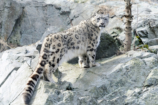 Snow leopards in China