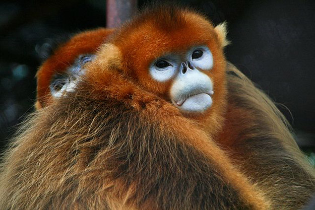 Rare snub nosed Golden Monkey in China