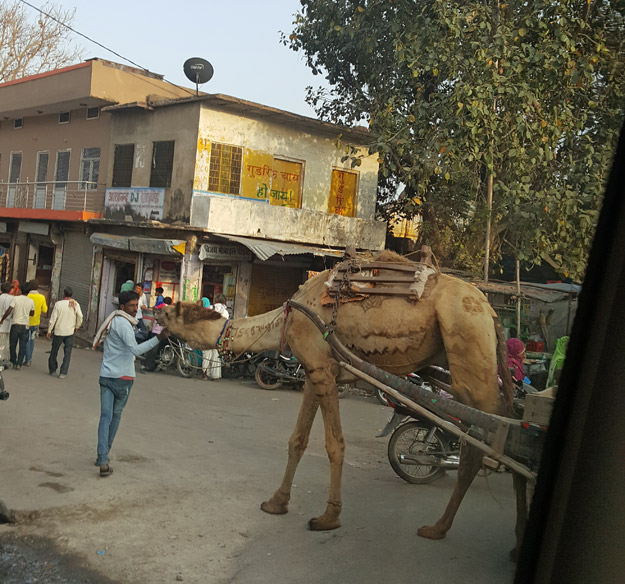camel in the road