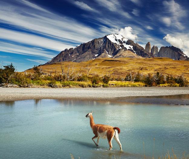 Llama in Patagonia