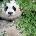 Photographed by Willie Graham at the Pandas Conservation Centre in Chengdu, China