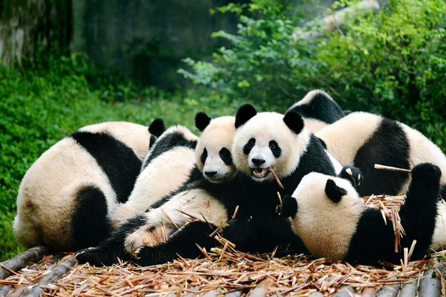 Chengdu Panda Research Reserve