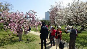 photos of cherry blossom