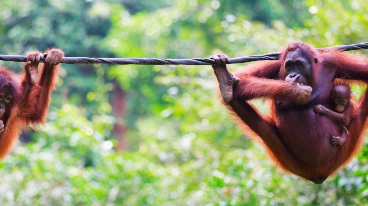 Orangutans hanging on a line