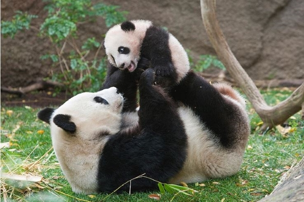 Giant panda playing with cub