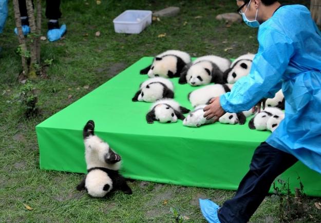 Baby panda falling