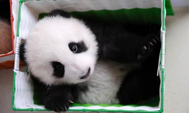 Little panda cub in box