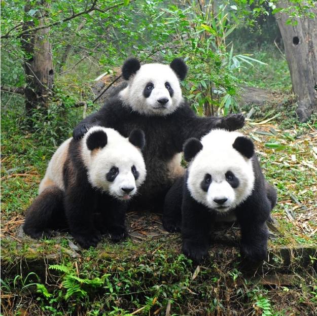 Group of pandas in Chengdu