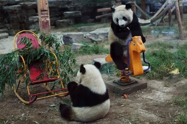 Giant pandas playing in Chengdu