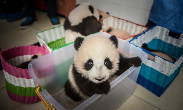 Panda cub in Chengdu