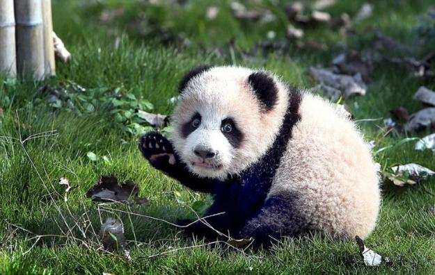 Peanut the panda