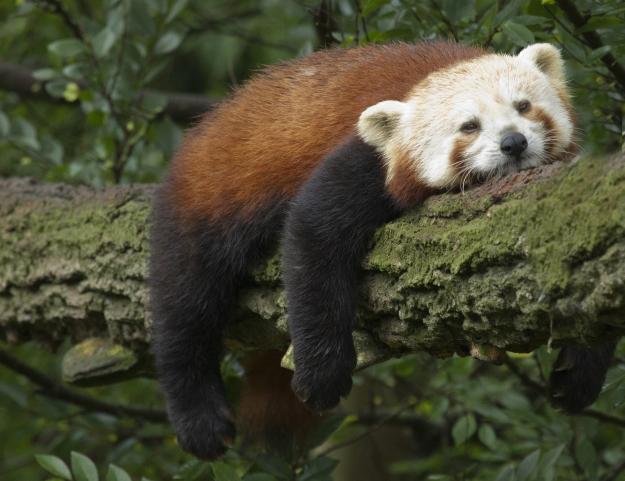 Red panda asleep on branch