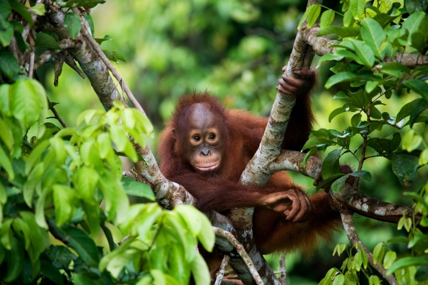 Orangutan in the trees