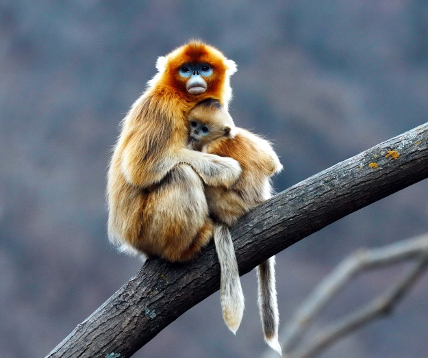 Snub-nosed monkey and baby