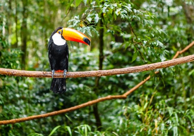 Toucan in the Amazon