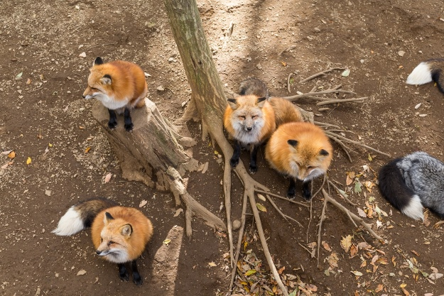 Zao Fox Village in Japan