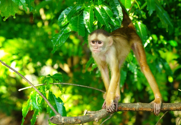 Capuchin monkey in the Brazilian Amazon.