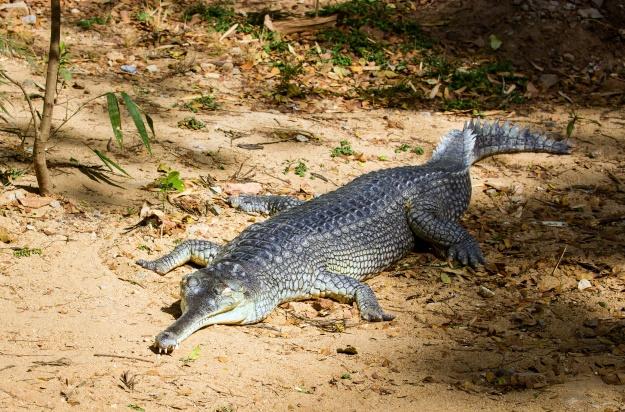 A gharial basking
