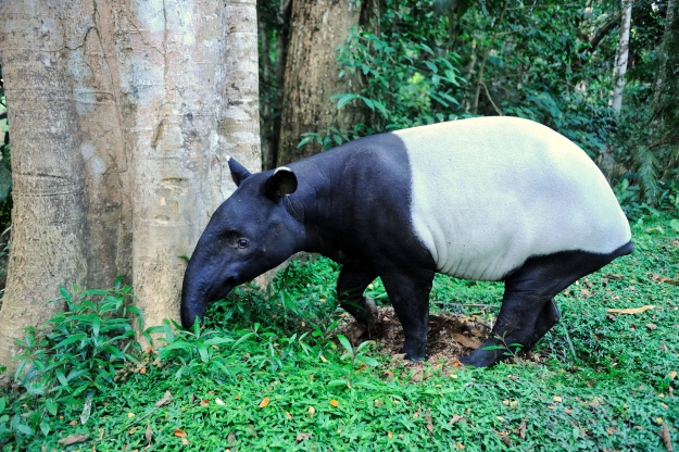 A Malayan tapir in the forest