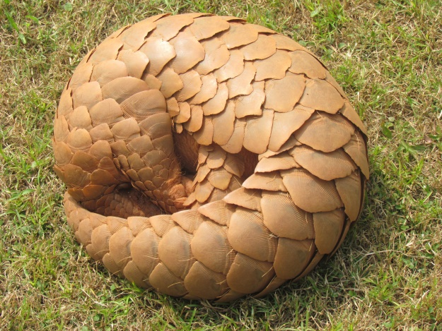 A curled up pangolin