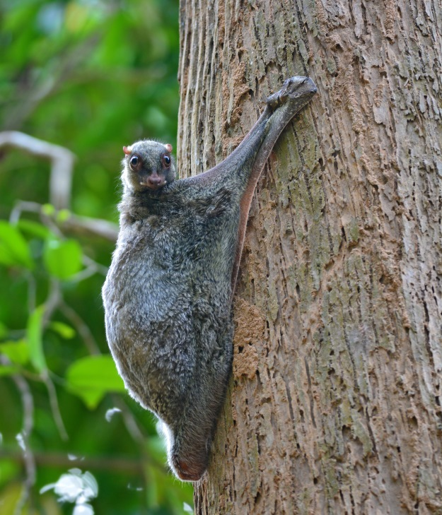 A sunda colugo clinging to a tree