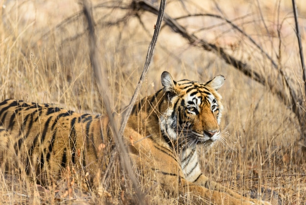 Tigers in Ranthambore India
