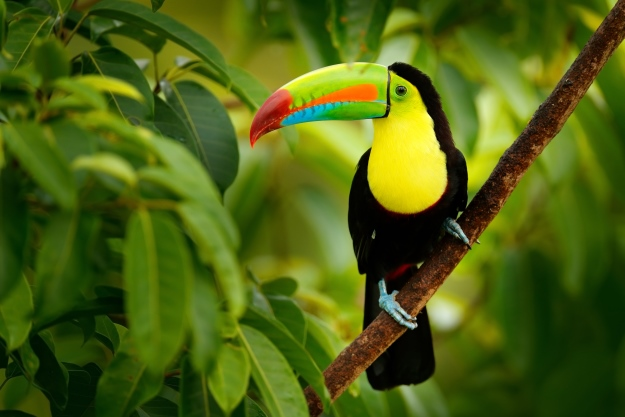 A toucan in a tree in Costa Rica