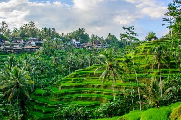 Ubud's rice terraces