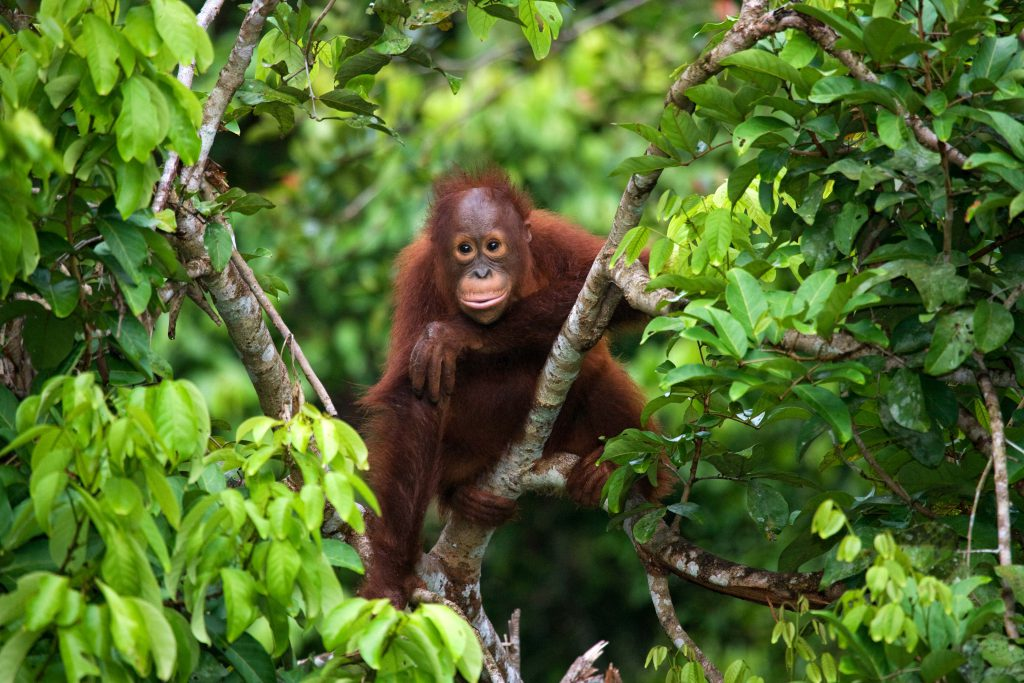 Orangutan sitting in a tree