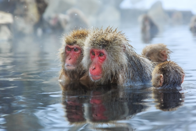 Snow monkeys bathing in a hot spring pool