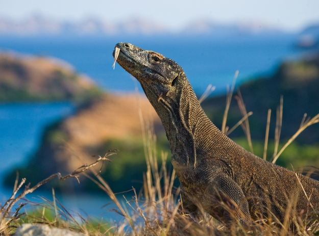 A Komodo Dragon roaming through the grass